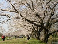 Sakura01_050409